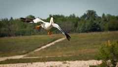 Comic Relief (skram1v) Tags: pelican emergency july2813