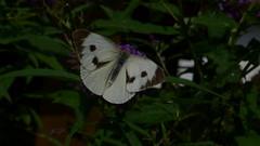 Grosser Kohlweißung (Aah-Yeah) Tags: white butterfly bayern large grosser schmetterling pieris achental chiemgau tagfalter brassicae marquartstein kohlweisling