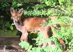 Peek-a-boo (Treflyn) Tags: uk wild garden reading back peekaboo wildlife young fox earley