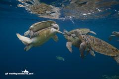 SIP080713G0030 (G Woolley) Tags: underwater turtle malaysia borneo mating sipadan sabah