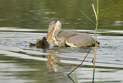 Ready for a Snack (dickman.malcolm) Tags: fish bird heron nature wildlife perch gosforth