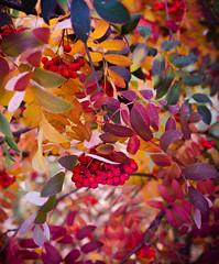 Autumn Leaves (ibraimov_miras) Tags: autumn red orange tree nature beauty leaves japan nikon bokeh kazakhstan astana d7000