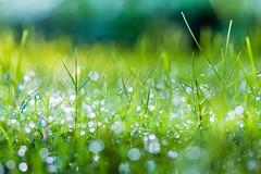 At the Roadside  (Sharleen Chao) Tags: morning autumn urban color macro green fall grass horizontal canon dof bokeh taiwan nopeople 100mm dew taipei    capitalcity flickrfriday  attheroadside canoneos5dmarkiii canon5dmarkiii