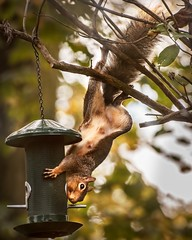 Sometime you have to ask yourself if the ends justify the means! (RUM OWD DEW) Tags: squirrel stealing