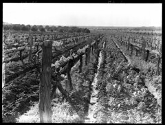 Vineyards (State Records SA) Tags: blackandwhite photography australia vineyards historical southaustralia frankhurley srsa staterecords staterecordsofsouthaustralia staterecordsofsa