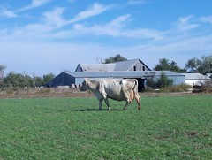 Matriarch (J. Nisly) Tags: cattle cows pasture kansas grazing 2012 brownswiss dairycattle