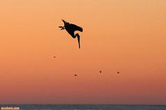 DivingForDinner (mcshots) Tags: ocean california autumn sunset sea sky usa bird nature water birds animals coast wings stock flight feathers pelican socal swells seabird losangelescounty mcshot