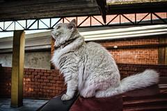 Branquela (rvcroffi) Tags: pet cats white cute branco cat kitten gato sentado gata carro lovely branca peludo peluda