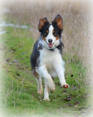 I'm a Happy Dog (misst.shs) Tags: dog pet nature animal action hike naturepreserve hss miniaussie northidaho nikond7000 sliderssunday