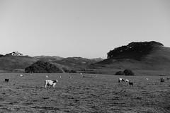 Cows (Misha Sokolnikov) Tags: california leica blackandwhite usa northerncalifornia america landscape photography 50mm cow photo cattle noiretblanc pasture norcal monochrom fairfax kentfield blackwhitephotos blanconoir leicamonochrom