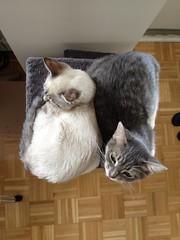 IMG_0941 (Going Bananas!) Tags: cute love cat kitten tabby pussy siamese cuddle meow pussycat cuddling cutecat bestfriends scratchingpost cutekitten greytabby