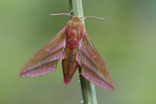 Deilephila elpenor (Elephant Hawk-moth, groot avondrood)
