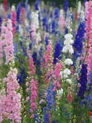 Des fleurs pour vous *** (Titole) Tags: flowers delphinium epis pieddalouette friendlychallenges thechallengefactory storybookwinner titole nicolefaton