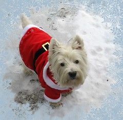 "12/12B ~ ""Santa's Little Helper"" (ellenc995) Tags: santa christmas friends riley westie westhighlandwhiteterrier helper ruby3 coth supershot akob abigfave pet500 pet100 pet1000 platinumheartaward rubyphotographer 100commentgroup alittlebeauty yearofholidays challengeclub coth5 naturallywonderful ruby10 ruby15 sunrays5 12monthsfordogs13 challengeclubchampion thasunshinegroup"
