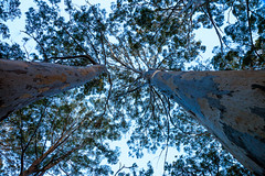 Australia-120327-117 (Kelly Cheng) Tags: travel trees color colour tourism nature horizontal forest landscape daylight flora colorful day outdoor australia nobody nopeople colourful westernaustralia traveldestinations karritree
