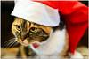 Milla Christmas and Happy New Year! (guido ranieri da re: work wins, always off) Tags: cat nikon santaclaus merrychristmas natale indianajones milla d800 gatta buonnatale homeshots nonsonoglianniamoresonoichilometri guidoranieridare