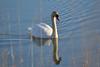 Mute Swan (Cygnus olor) (acryptozoo) Tags: ohio swan harrison mute cygnus anatidae anseriformes olor fernald anserinae