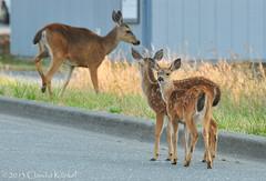 momma deer with twin fawns (Claudia Künkel) Tags: oregon deer fawn twinfawns