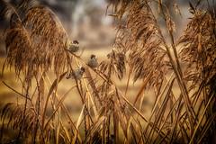 Band Of Brothers (Alex M. Wolf) Tags: bird alex grass birds canon eos bush wolf ngc carinthia m npc gras vögel bushes vogel klagenfurt gebüsch sweetfreedom bej 60d coth5 blinkagain sunrays5 kärntn