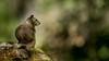 California Ground Squirrel (Tōn) Tags: california nature animal squirrel californiagroundsquirrel pinnacles pinnaclesnationalmonument otospermophilusbeecheyi pinnaclesnationalpark