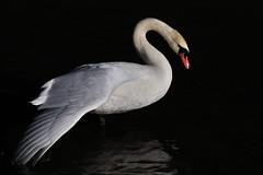 Stretching (luporosso) Tags: naturaleza bird nature birds swan nikon natura ali uccelli swans stretching uccello cigno naturalmente allungamento nikond300s