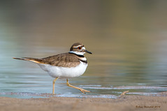 In A Hurry (Happy Photographer) Tags: lake bird spring colorado killdeer migration highline happyphotographer amyhudechek