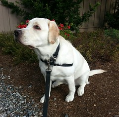 Gracie glancing upwards (walneylad) Tags: dog pet cute puppy spring gracie lab labrador canine labradorretriever