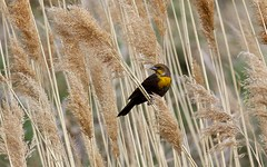 Yellow Headed Blackbird (donrallen) Tags: birds yellow female blackbird headed shootproof