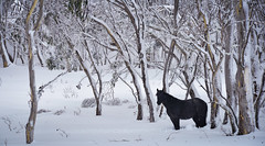 Brumby 5 (iSPY Photography) Tags: winter horses snow mountains alps nationalpark bush mare australia nsw eucalypt stallion foal hooves brumbies kiandra whiw