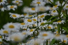 Lazy Daizy (Charlene DiPietro Smith) Tags: flowers daisies nh daisy audobon