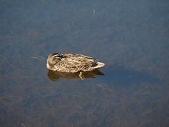 i can see you (ClareSnow) Tags: winter lake reflection bird water duck australia waterbird naturereserve perth anas blackduck waterlevel pacificblackduck anassuperciliosa lakegwelup lakegwelupreserve