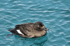 2014 White-winged Scoter 54 (DrLensCap) Tags: park chicago bird robert harbor duck illinois belmont il lincoln kramer whitewinged scoter