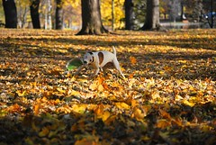 Doog - 1 year old (b martins) Tags: dash jackrussell frisbee yellow fall leaves actionshot