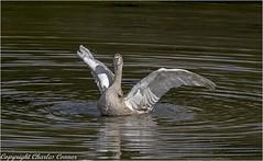 Swan (cconnor124) Tags: leigh england unitedkingdom gb swans trumpeterswans largebirds wildbirds waterbirds birdphotography white naturephotography nature canon100400lens canon7dmk11