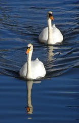 2 Swans (Glyn Heskins) Tags: navigation stroudwater severn thames swim bird white life wild wildlife water canal gloucestershire stroud swans swan