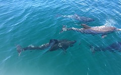 A pod of dolphins (petes_travels) Tags: pod dolphin dolphins watching boat new south wales australia jervis bay