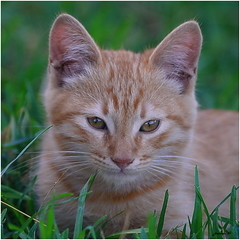 Gato (jjbesadarico) Tags: galicia gatitos gato portonovo puppy perritos pelirroja barcelona animal aire libre mascota borde para fotos