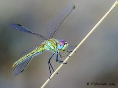 Liblula (F.Guirado) Tags: 2016 octubre odonata sympetrumfonscolombii liblula dragonfly sony nex6 90mmfe macro