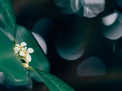 * (t*tomorrow) Tags: olympus omd em10 55mm flower
