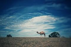 Distant Dromedary (scottwills) Tags: camel dromedary landscape blue sky clouds animals safari scott wills scottwills