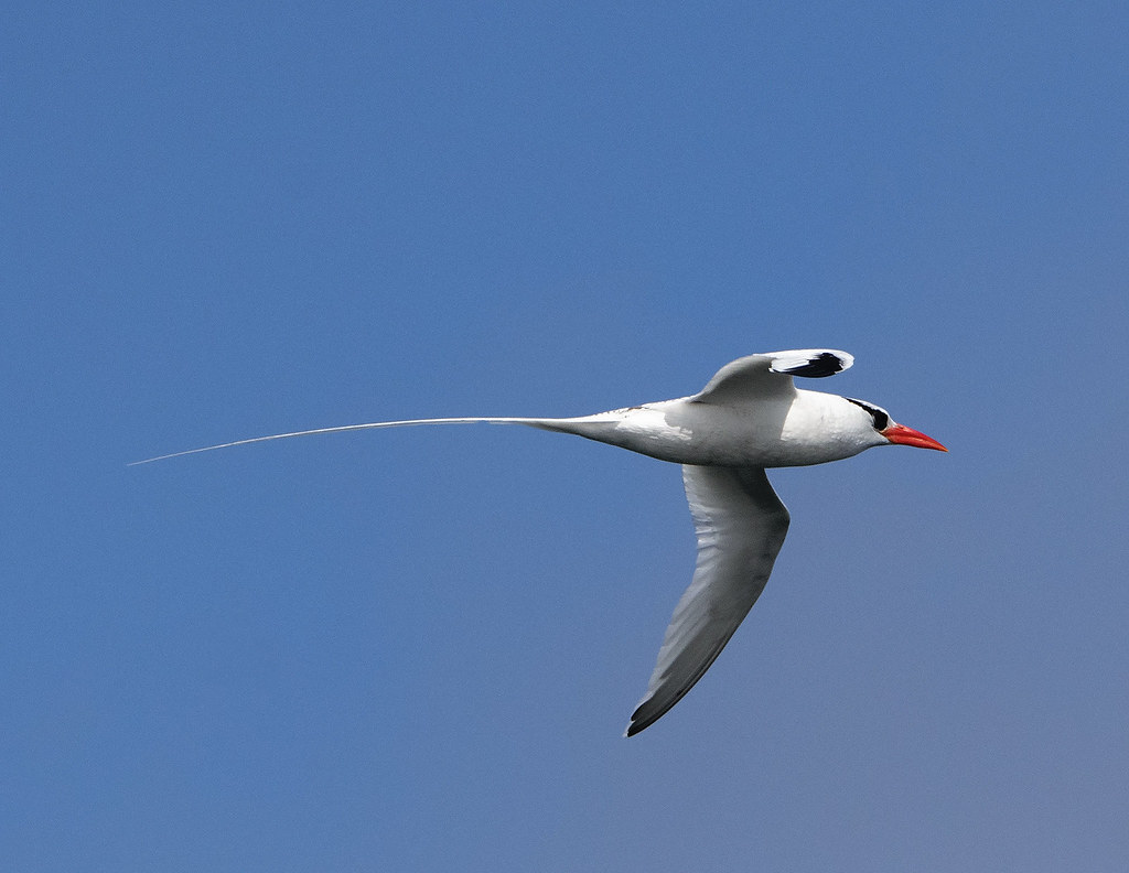 the world s best photos of tropicbird flickr hive mind red billed tropicbird doug greenberg tags tropicbird redbilledtropicbird