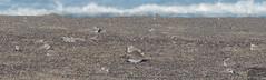 Lesser Sand-Plover w/ Snowy Plovers (Corvus707) Tags: birds birding rarebird rarity shorebird plover sandplover lessersandplover nature outdoors wildlife ebird vagrant charadrius charadriidae pointreyes pointreyesnationalseashore pore marin california
