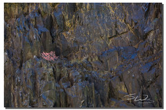 Canyon wall flower, Grand Canyon, Arizona (james wang photography - wangjam) Tags: azra grand canyon river rafting photography trip landscape azragrandcanyonriverraftingphotographytriplandscape