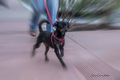 Wk42 Zoom Effect (pix2fix) Tags: 52weeks bressiranch california carlsbad fpar zoomeffect adoption black dog dogs nlassy rescue wk42
