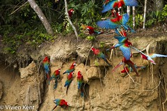 Red-and-green macaws at clay lick8 (tau247) Tags: amazonianrainforest arachloropterus manunationalpark peru redandgreenmacaw southamerica behavior behaviour bird bright claylick colorful colourful green minerals nature red wildlife
