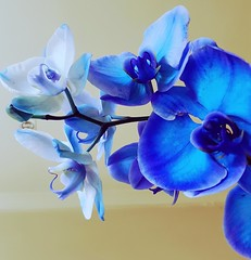 Beautiful shades of blue. (MouseArtStudios Photography) Tags: flowersofnature