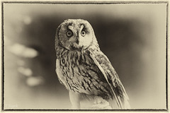Long-eared owl (tomsyrk) Tags: longearedowl owl waldohreule eule vogel tier bird animal natur nature sepia mono monochrome monochrom schwarzweiss blackandwhite blackwhite blacknwhite blancoynegro noireblanc noiretblanc bw sw bnw toned birdofprey greifvogel raubvogel zoo wildpark falknerei