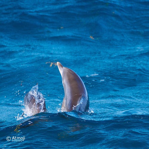 It's time to play in the waves. Two young Atlantic Spotted #dolphins have a great time. #wildquest #wildandfree #photooftheday #bimini