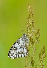 Dambordje - Marbled White - Melanargia galathea (Foto by Yves) Tags: lepidoptera vlinders nymphalidae vossen parelmoervlinders weerschijnvlinders august 2016 100mm macro linnaeus 1758 specinsects
