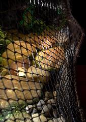 IMG_3979.CR2 (jalexartis) Tags: yellowbelliedsliderturtles yellowbelliedsliderturtle yellowbelliedslider ybst basking bask baskingrock baskingstone turtlebaskingarea aquatichabitat aquarium aquatic home interior interiordecorating indoorpond